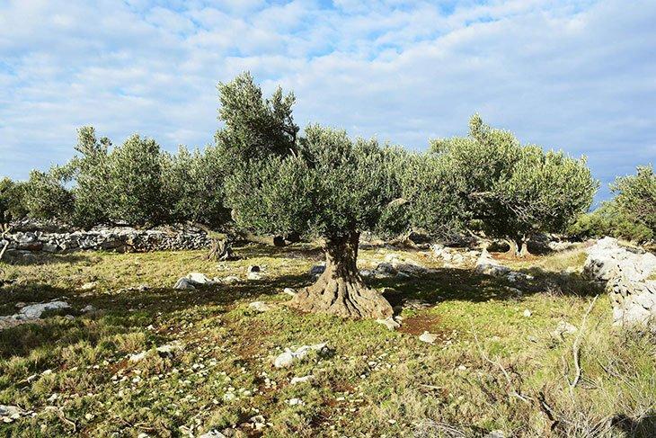 Olive Trees In Kornati Islands